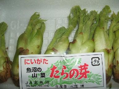 たらの芽-1