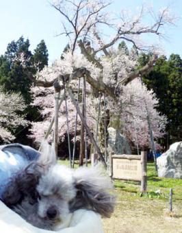 釜の越し桜2