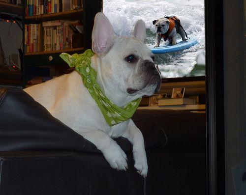 bulldog-surfinga.jpg