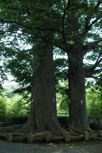春日神社の御神木