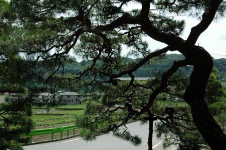 一峯院の松