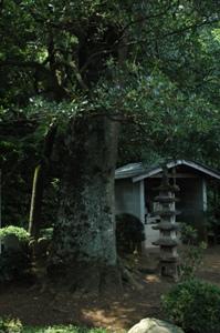 慈勝寺のモッコク