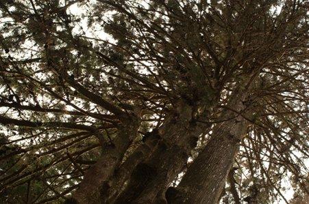 御岳山口を過ぎると大きな杉