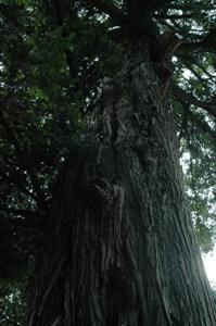 鈴木神社の御神木