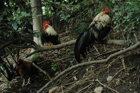 谷保天満宮の鶏
