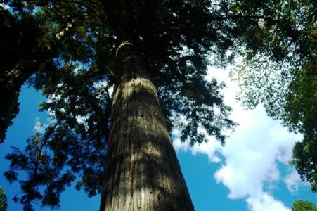 豊鹿島神社の御神木