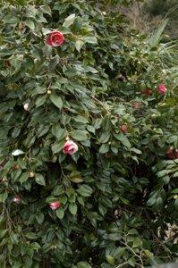 用竹の民家に咲いていた椿