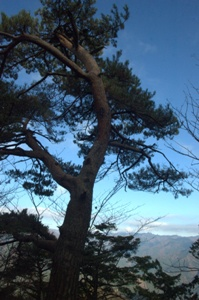 山頂の赤松