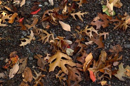 ピンオークの落ち葉