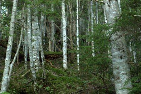 白樺の樹林