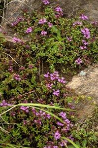 岩場の植物