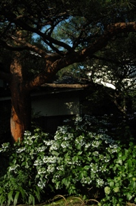 普門寺の紫陽花と松