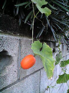 カラスウリ、レースの花がしぼんだ後に柿色の玉が美しい