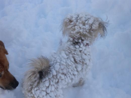 雪玉犬DSCN1573