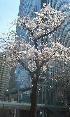 桜②(ソメイヨシノ)