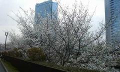 城ホ横の桜