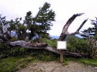 剣山刀掛の松