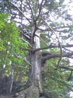 徳島県一のヒノキの巨木