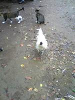 ウコッケイと子猫
