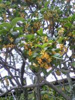 金木犀の甘い香り2