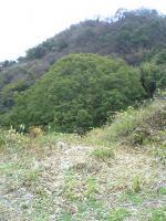 志々島の大楠の全景3