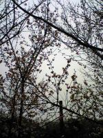 手島の満開の梅の花1