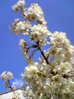 当店の畑の桜は満開2