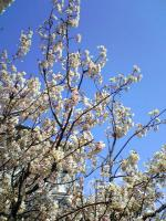 当店の畑の桜は満開1