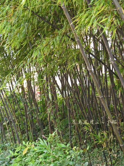黒竹がいっぱい