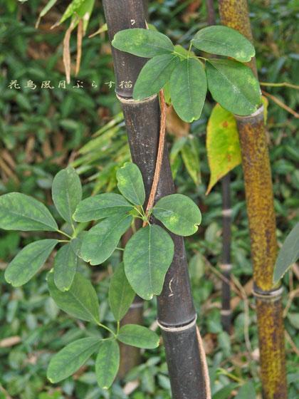 黒竹にツタの葉