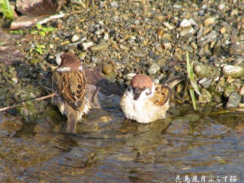 雀の水浴び