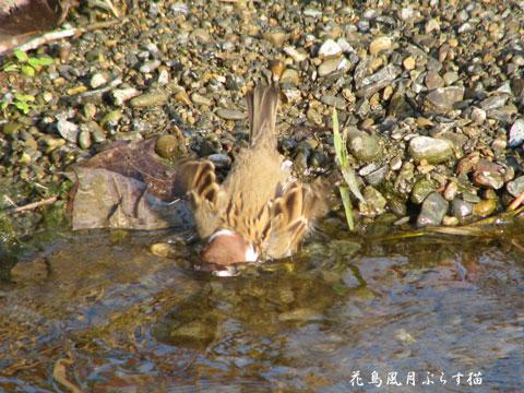 雀の水浴び2
