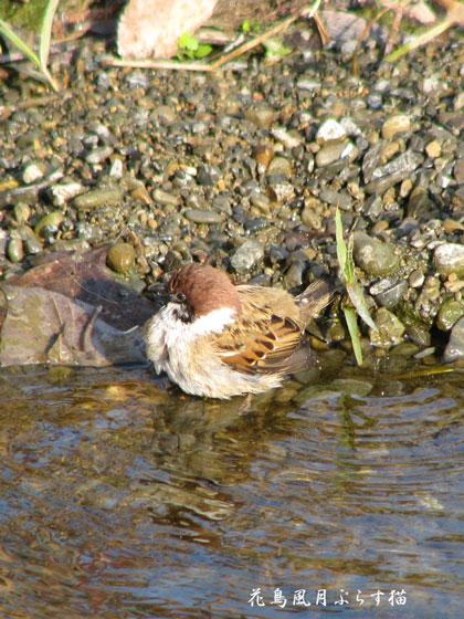 雀の水浴び3