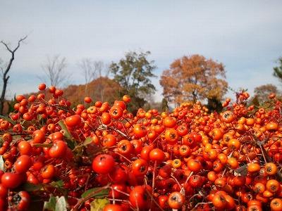 20111208赤い実