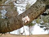 20111208桜アップ