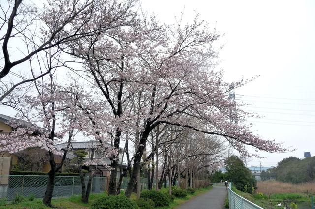 SAKURA040519.jpg