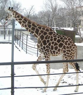 20110104_giraffe_1.jpg