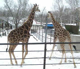20110104_giraffe_2.jpg