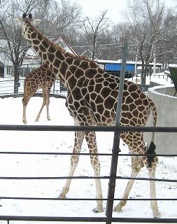 20110104_giraffe_3.jpg