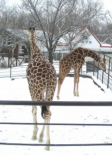 20110104_giraffe_4.jpg