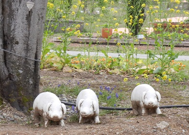 3びきの子豚
