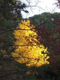 粟田神社の黄葉