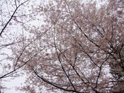 金比羅参り⑨桜