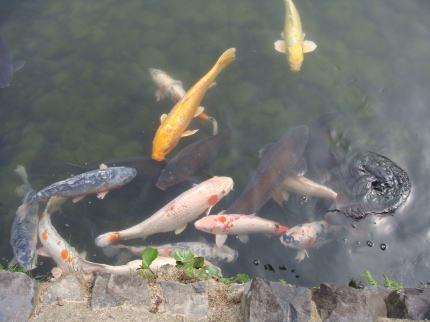メタボな鯉