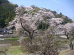 電車から桜