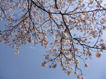 見上げれば桜