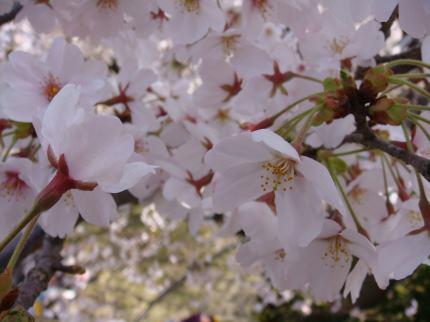 桜サイコー