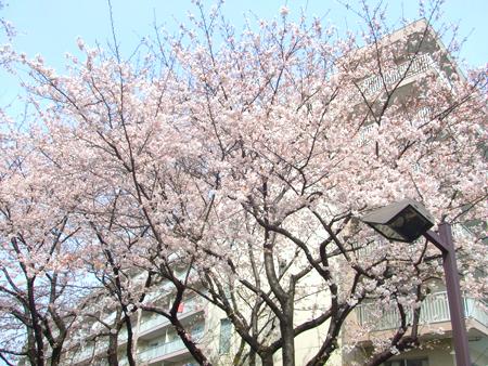 100407_桜1