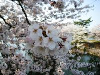 10.4.5 池田池の桜3