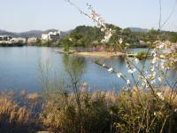 10.4.5 池田池の桜4